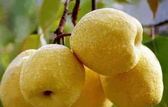 秋梨膏用什么梨