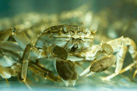 大闸蟹可以活多久