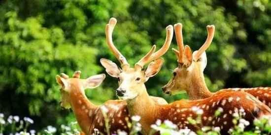 鹿茸一般服用多少克