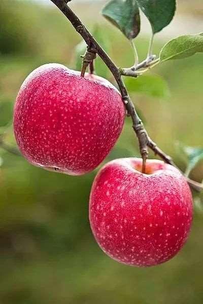 每天吃一个苹果的好处