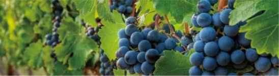 葡萄籽可以抗过敏吗