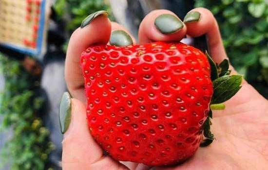 牛奶草莓和九九草莓的区别 牛奶草莓是用牛奶浇灌长大的吗
