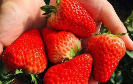 丹东草莓有没有激素 如何辨别草莓是否打了激素