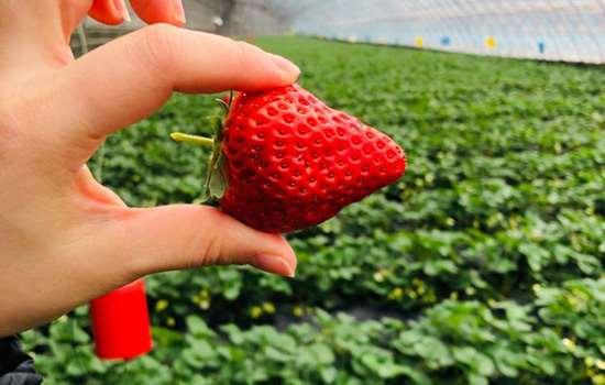 丹东99草莓是哪里的 丹东99草莓什么地方的最好吃