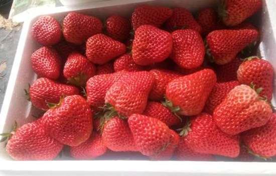 99丹东草莓真假分辨 如何辨别丹东99草莓的真假