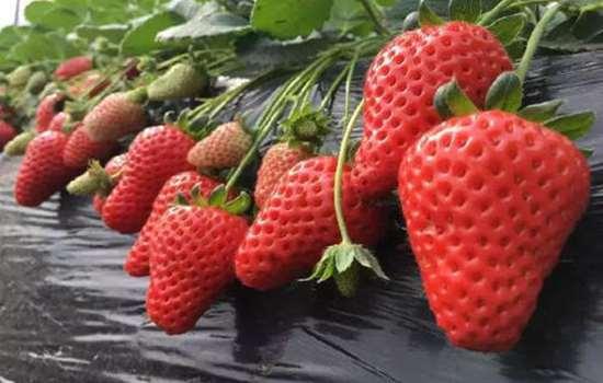 用草莓能种出草莓吗 草莓种子直接种可以吗
