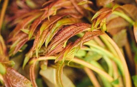 香椿芽什么季节才能吃 香椿芽什么时候采摘最好