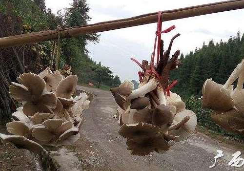 夏至菇生长在什么地方 夏至菇怎么做好吃