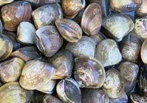 文蛤孕妇能吃吗 文蛤食用禁忌有哪些