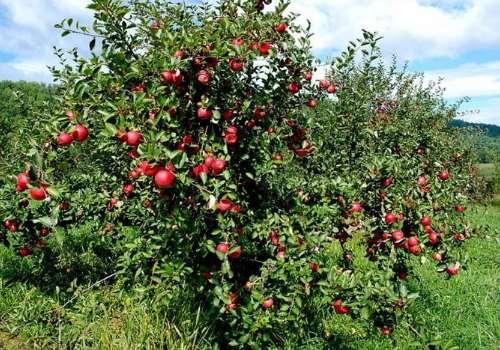 红肉苹果是什么品种 红肉苹果适合哪种土壤及哪里有种植