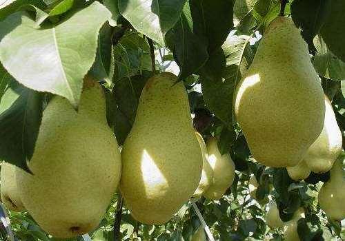 五九香梨有什么功效 五九香梨产地是哪里