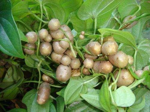 山药豆不能和什么一起吃 山药豆是山药的种子吗