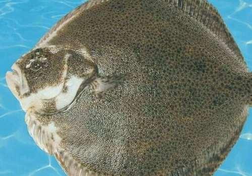 多宝鱼为什么发苦 多宝鱼为什么不能多吃