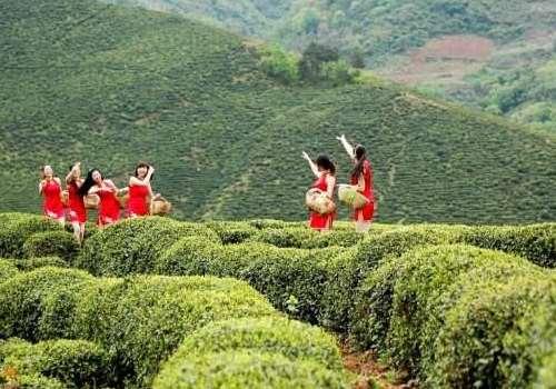 姑娘茶是什么茶 姑娘茶哪里可以喝