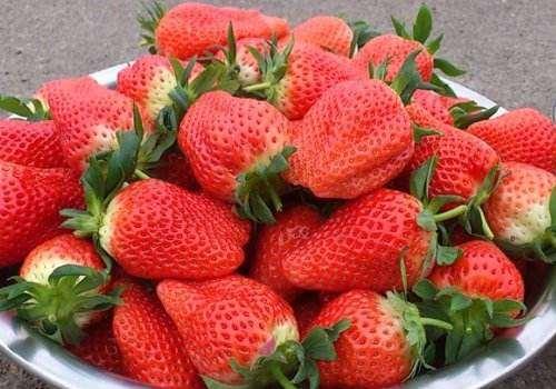 甜宝草莓是什么品种 甜宝草莓和章姬草莓的区别