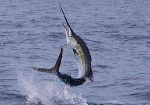 剑鱼的营养价值 剑鱼和旗鱼的区别哪个游得快