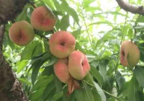 蟠桃多少钱一斤 蟠桃吃法有哪些