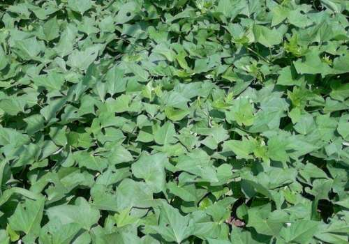 红薯叶在家种可以水种吗 红薯叶大棚怎么种植方法