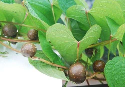 山药豆舌头不发麻的吃法 吃了山药豆的好处