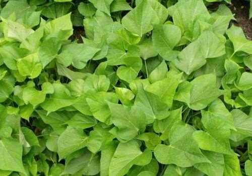 红薯叶是寒性还是温性 红薯叶是酸性还是碱性