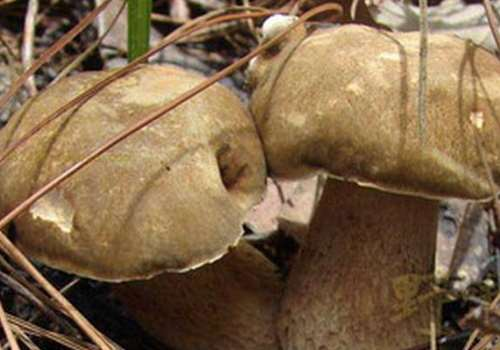 牛肚菌的功效与作用 牛肚菌多少钱一斤
