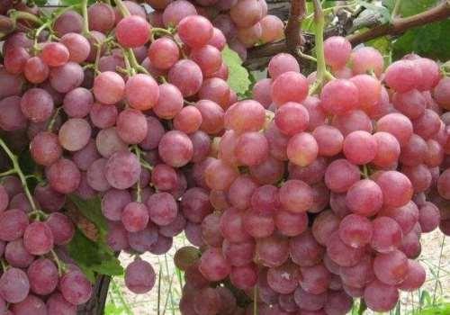 葡萄是酸性还是碱性 葡萄可以和石榴一起吃吗