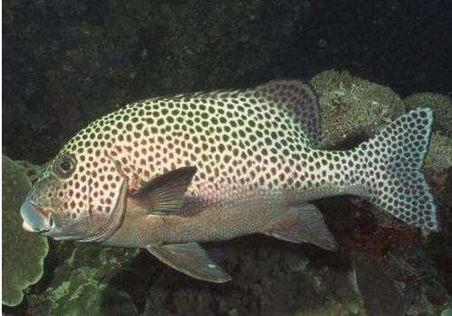 石斑鱼死的可以吃吗 吃哪种鱼更健康