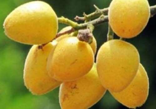 黄皮果是什么味道 黄皮果是发物吗