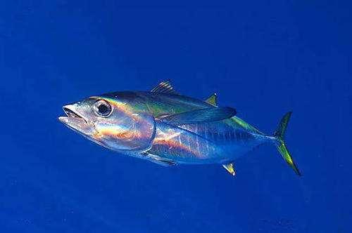 金枪鱼怎么挑选 金枪鱼价格多少钱一斤
