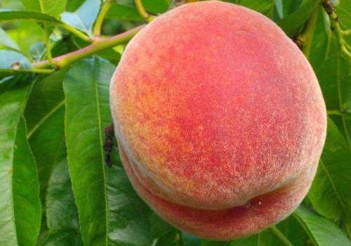 桃子洗了怎么保存 桃子洗了可以放冰箱吗