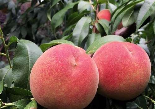 吃桃子可以喝啤酒吗 桃子和巧克力能一起吃吗