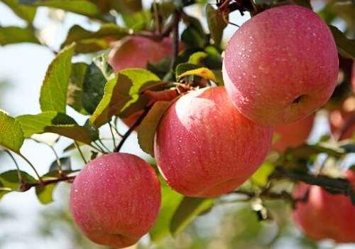 苹果和桃子能一起榨汁吗 桃子和苹果哪个热量高