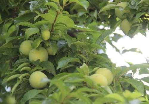 李子和桃子一起吃好不好 李子和杨梅可以一起吃吗