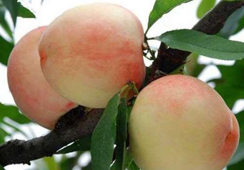 水蜜桃的毛能吃吗 哪些桃子有毛哪些没有