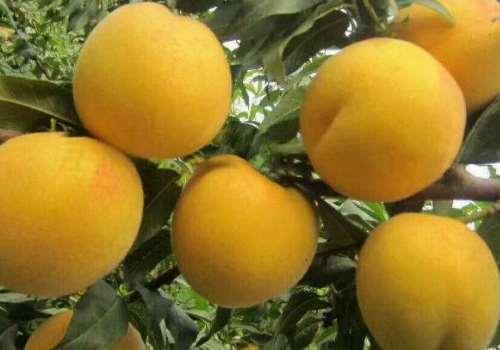 黄桃为什么那么酸 黄桃吃了会胖吗
