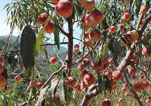 红心桃子是什么品种 红心桃子的功效与作用