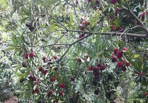 杨梅和桃子能一起吃吗 杨梅和葡萄能一起吃吗