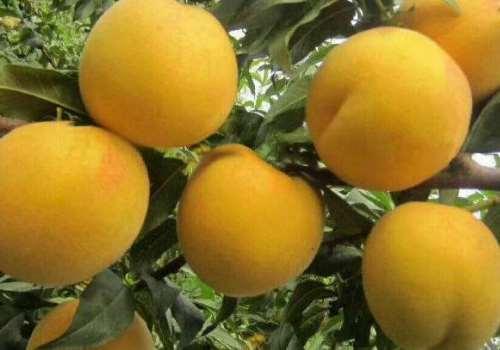 黄桃可以榨汁吗 黄桃榨汁的做法