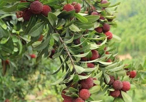 杨梅怎么吃可以治拉肚子 杨梅治拉肚子可以长期吃吗