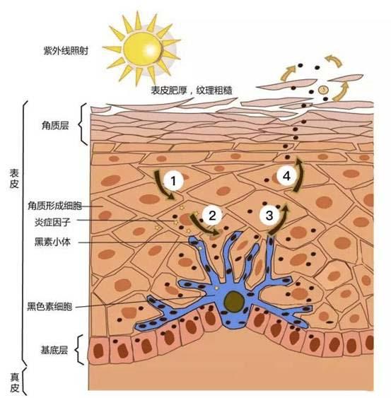无限极护肤品正确使用_兰芝护肤步骤带图