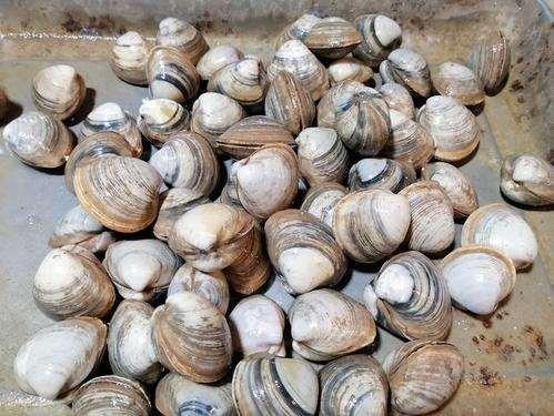 文蛤吃什么 文蛤怎么养殖