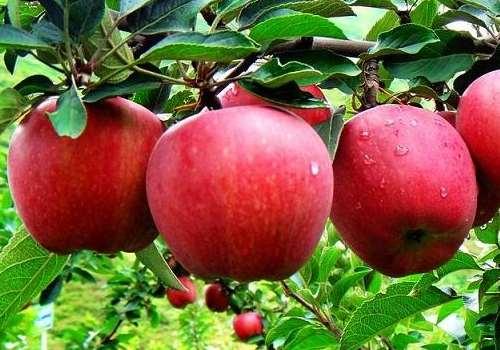 红肉苹果的种植条件 红肉苹果几年结果